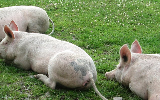 Three pigs laying down in a field