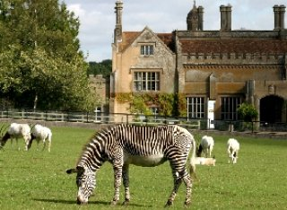 A zebra feeds on the grass at Marwell Zoo