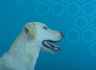 A golden Labrador in front of a blue background