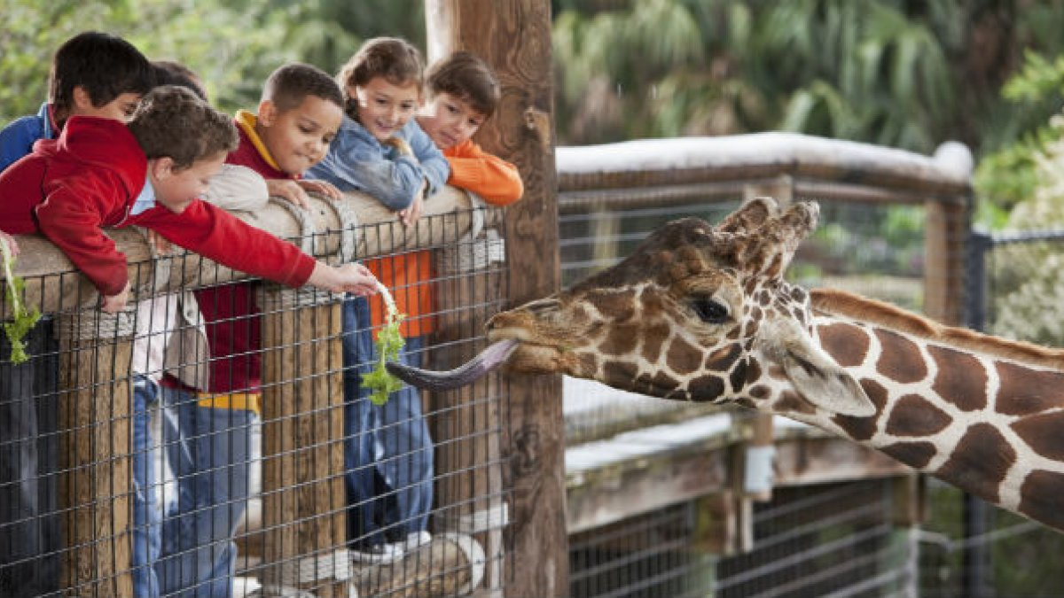children feeding giraffe at a zoo