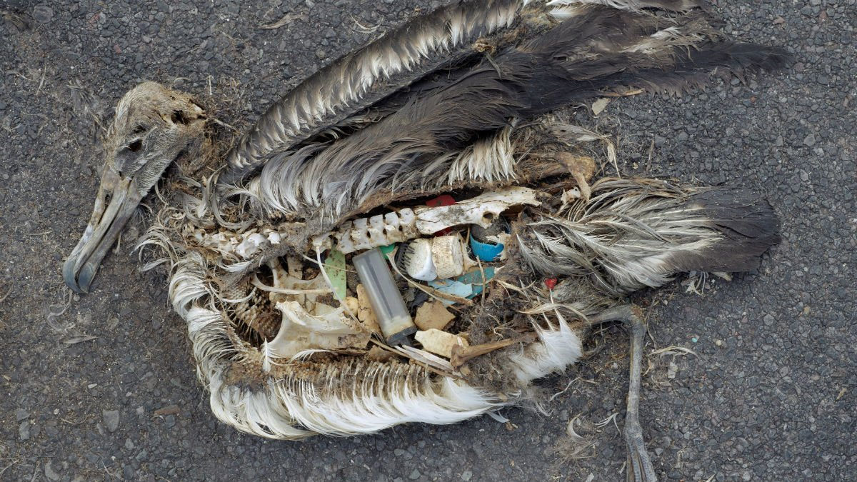 A dead albatross decayed on the beach shows plastic in its stomach