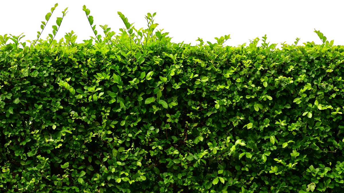 A healthy green hedge