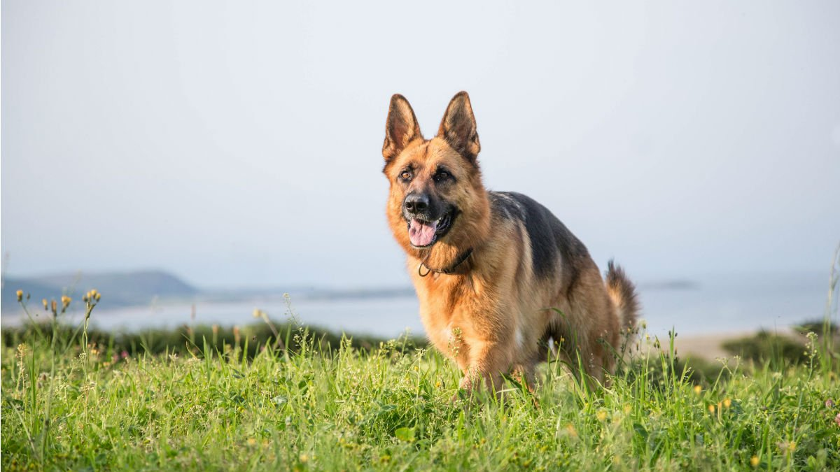 Movement Of German Shepherd Dogs Is Dependent On Their Shape University Of Surrey